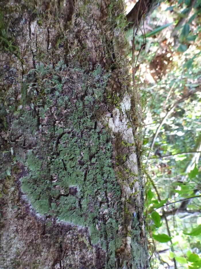 Mossy Leaf-tailed Gecko (Ed Drewitt)