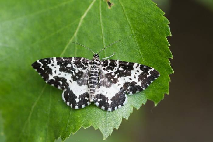 Argent and Sable Moth, Scotland shutterstock_1772721188.jpg