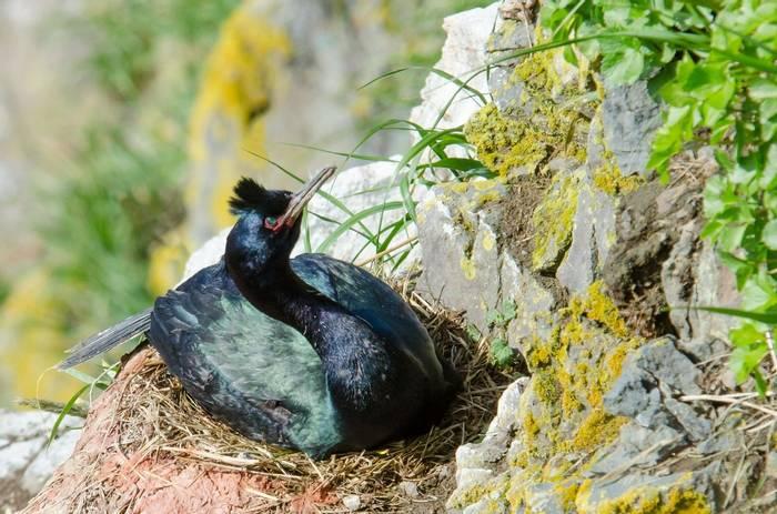 Pelagic Cormorant (Tim Melling).jpg