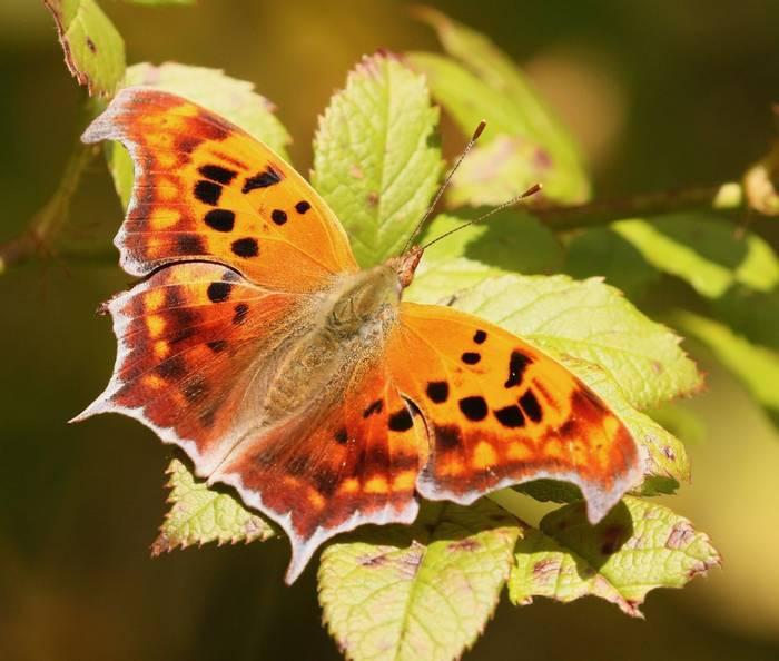 Question Mark butterfly (Adam Dudley).jpeg