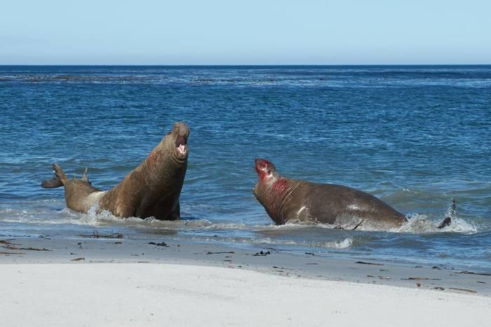 Southern Elephant Seals Falklands shutterstock_357427121.jpg