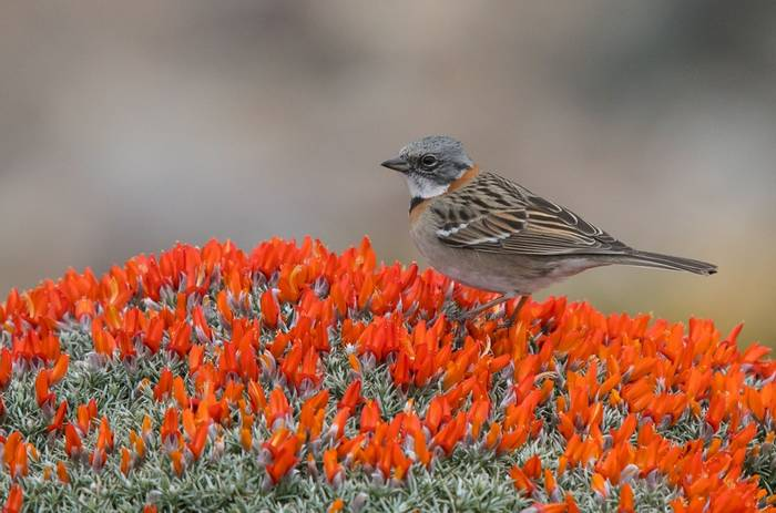 Rufous-collared Sparrow (Tim Melling)