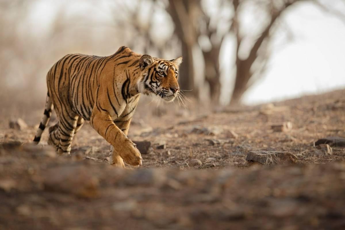 Tiger Shutterstock 548919340