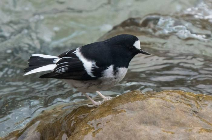 Little Forktail (Tim Melling)