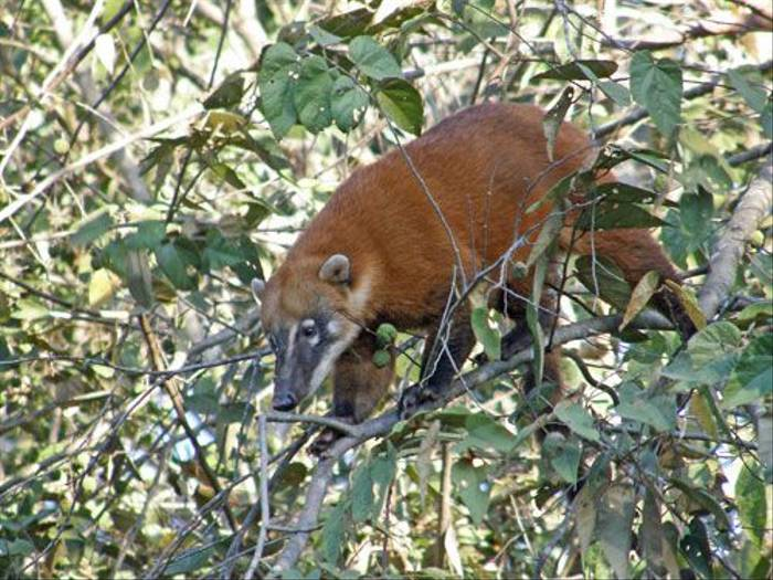 South Amercan Coati (Bryan Roberts)