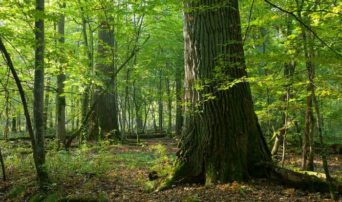 Bialowieza Forest, Polandshutterstock 96693364
