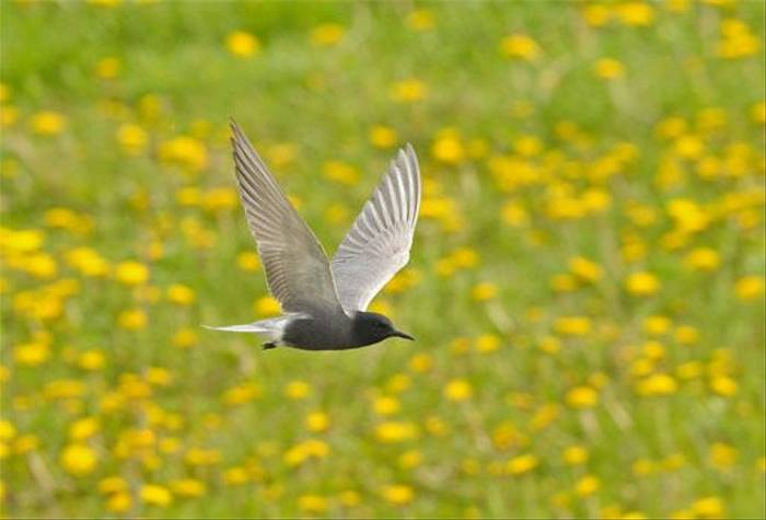 Black Tern (Baz Scampion)
