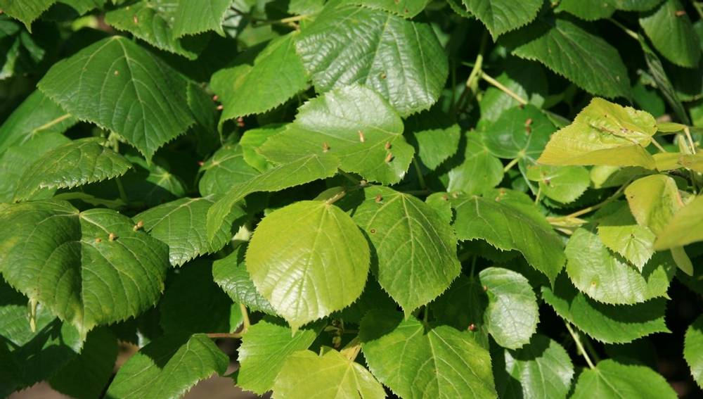 Common Lime Leaves