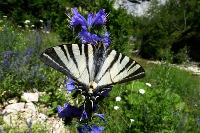Scarce Swallowtail (Dave Smallshire)