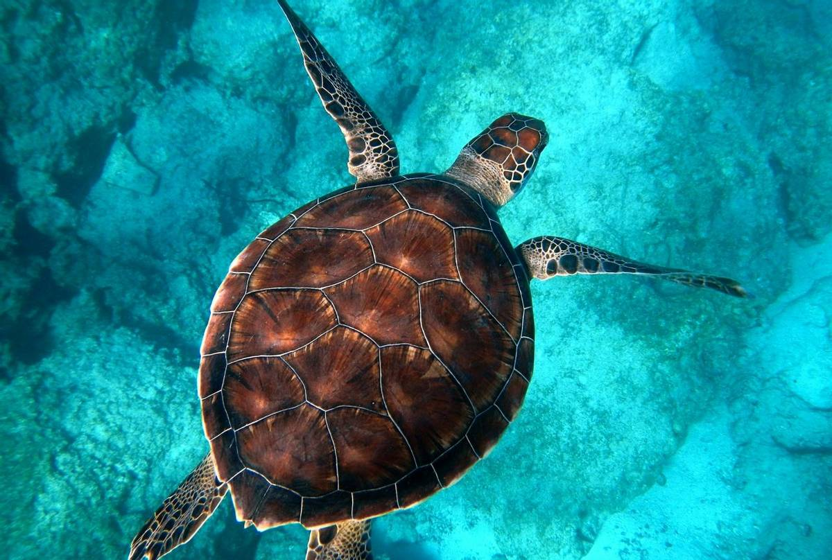 Hawksbill Turtle (Eretmochelys imbricata) - Randall Ruiz