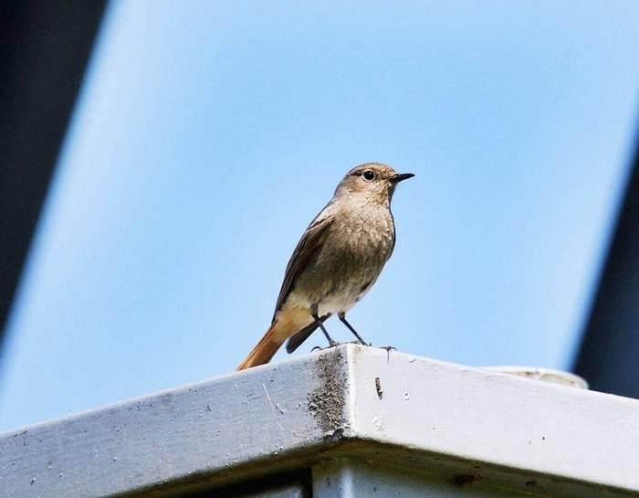 Redstart (Mark Elliot)