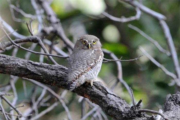 Jungle Owlet (Peter Johnson)