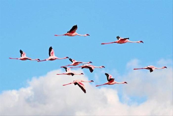 Lesser Flamingoes (Bret Charman)