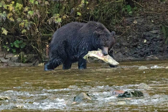 Grizzly Bear with salmon (Chris Hutchinson)