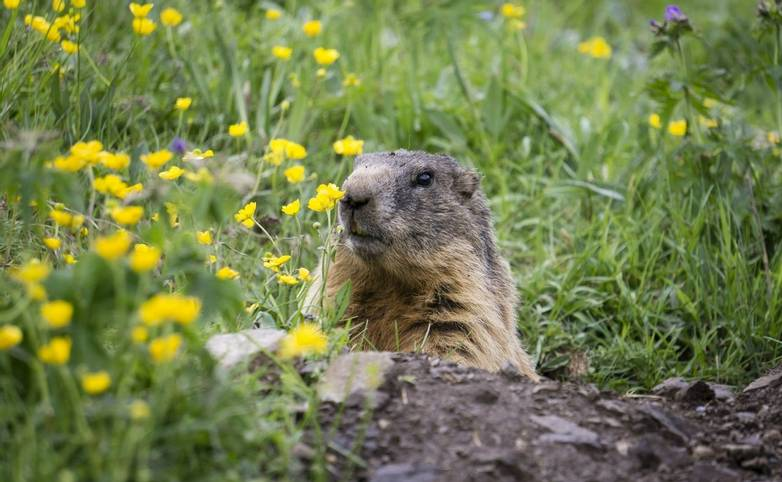 Alpine marmot in the natural environment. Dolomites Italy.