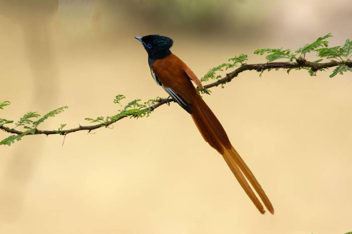 Paradise Flycatcher (Colin Brown)
