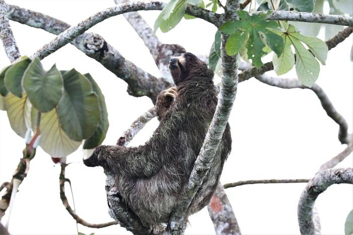 Brown-throated Three-toed Sloth scratching at moths in its hair (Brian West).JPG