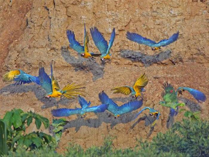 Blue and Yellow Macaws (Peter Price)