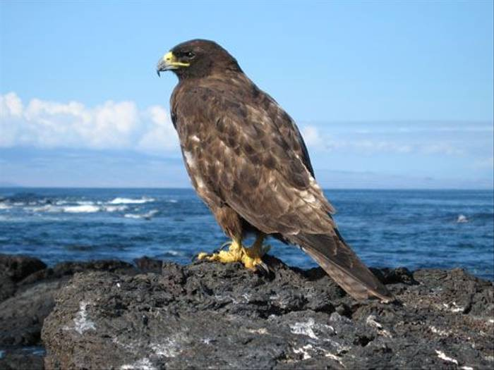 Galapagos Hawk (S. W. Birch)
