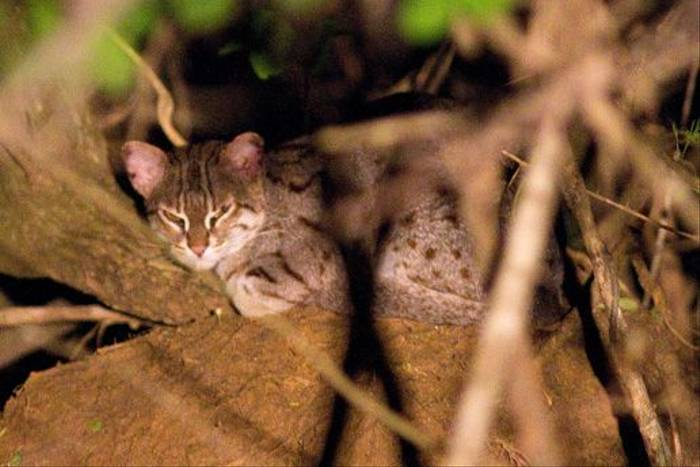 Rusty Spotted Cat (John Young)
