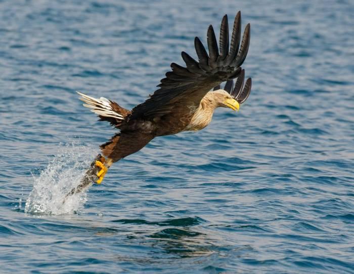 White-tailed Eagle (Carole Nicholson) (2).jpg