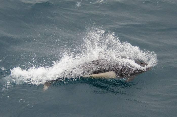 Dall's Porpoise (Tim Melling).jpg