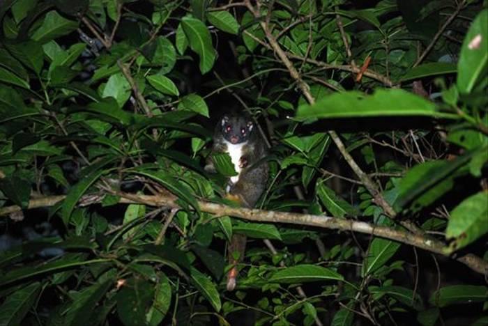 Common Brushtail Possum (Andrew Rest)