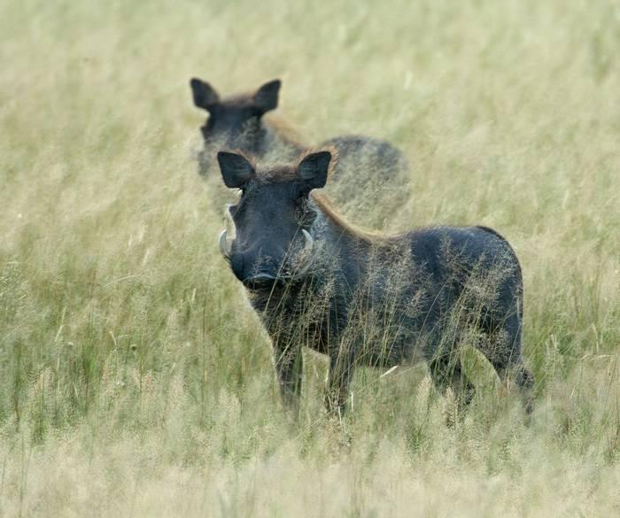 Warthogs (Eric Browett)