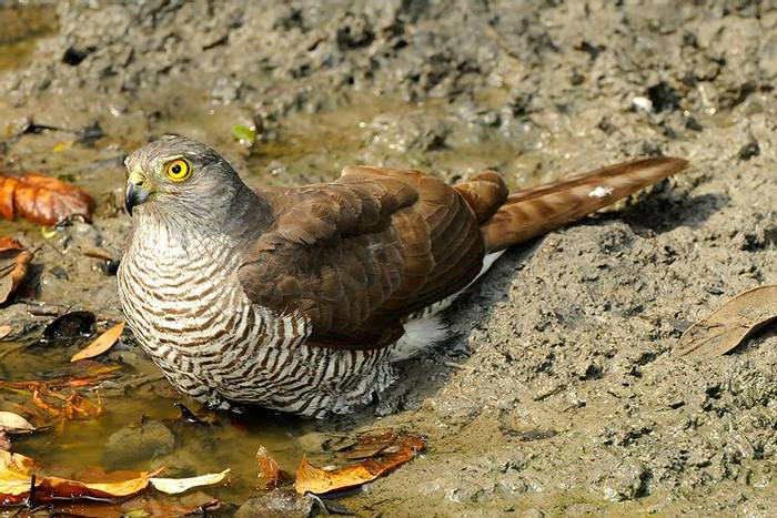 Frances's Sparrowhawk (Stephen Woodham)