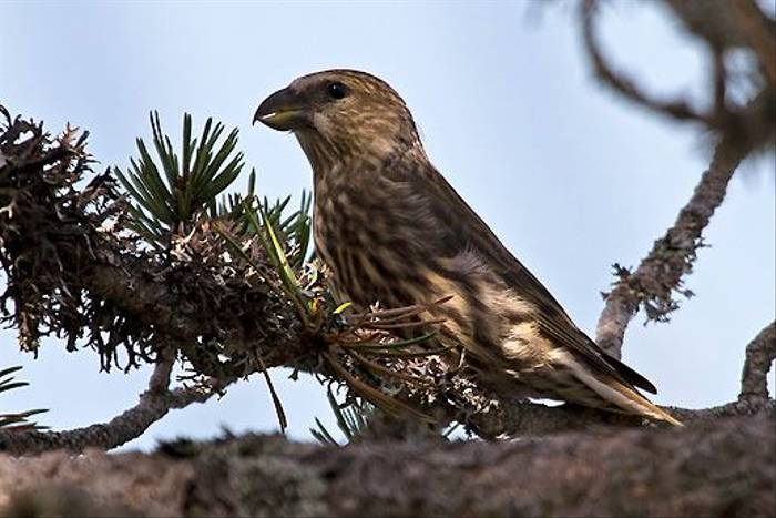 Juvenile Red Crossbill (Colin Brown)