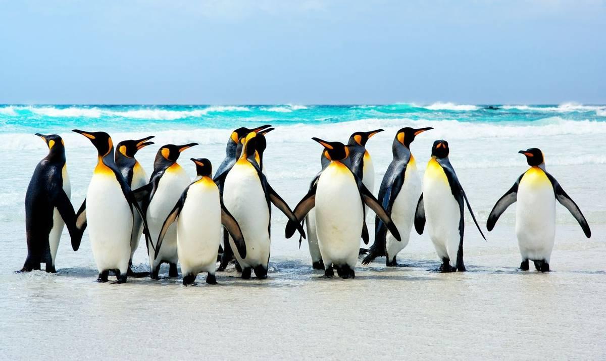 King Penguins Falklands Shutterstock 21087547