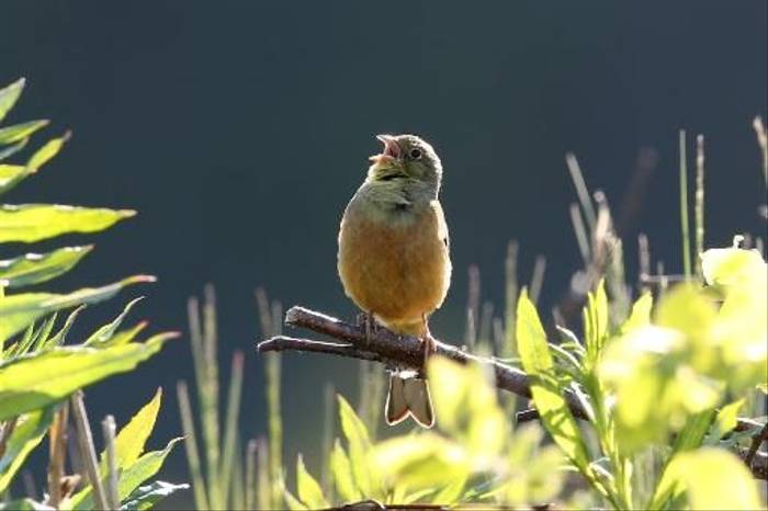 Ortolan Bunting (Gordon Small)