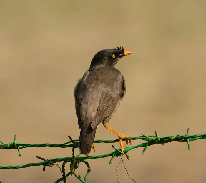 Jungle Myna (Pradeep Singh, Sunderban Extension)