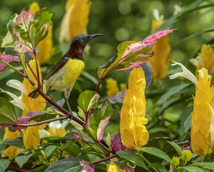 Purple Rumped Sunbird (John Archer Thomson)