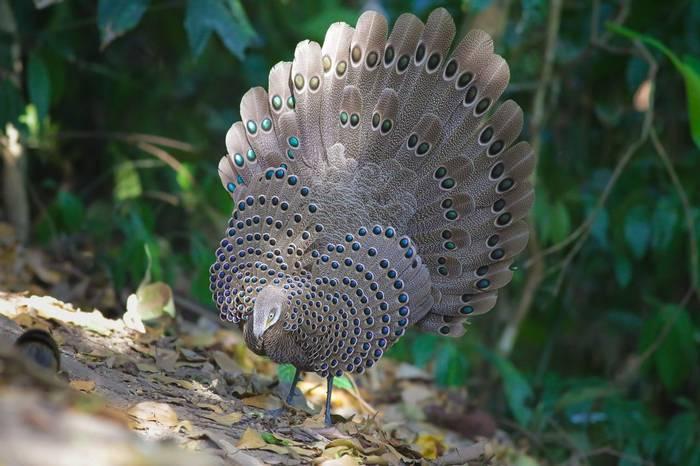 Grey Peacock Pheasant Shutterstock 630016253