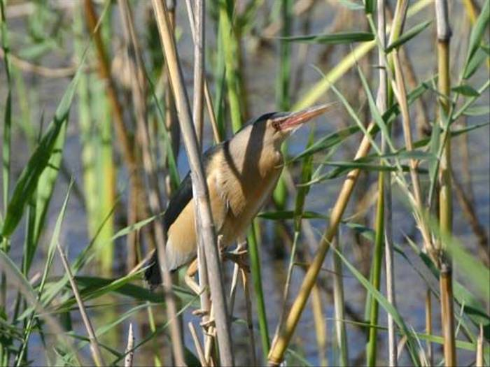 Little Bittern (Peter Dunn)