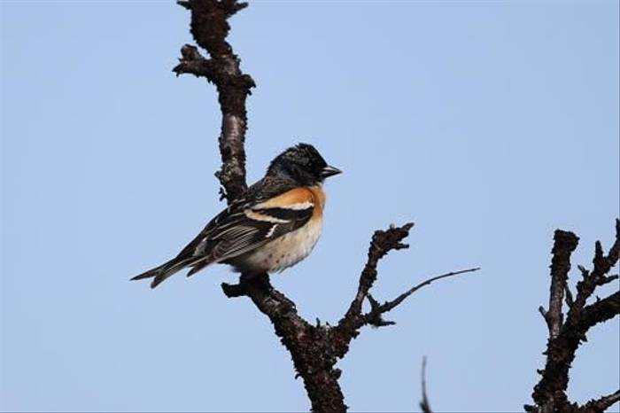 Brambling (Gordon Small)