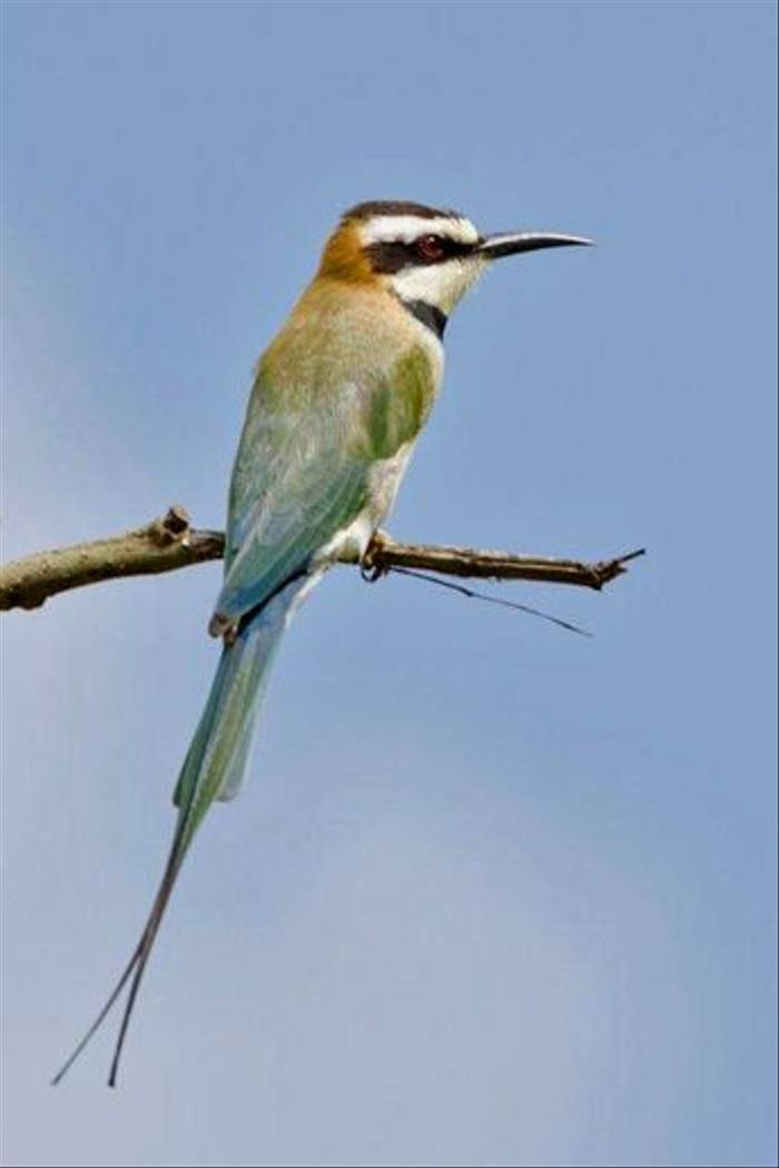 White-throated Bee-eater, Lake Victoria (Ian and Kate Bruce)