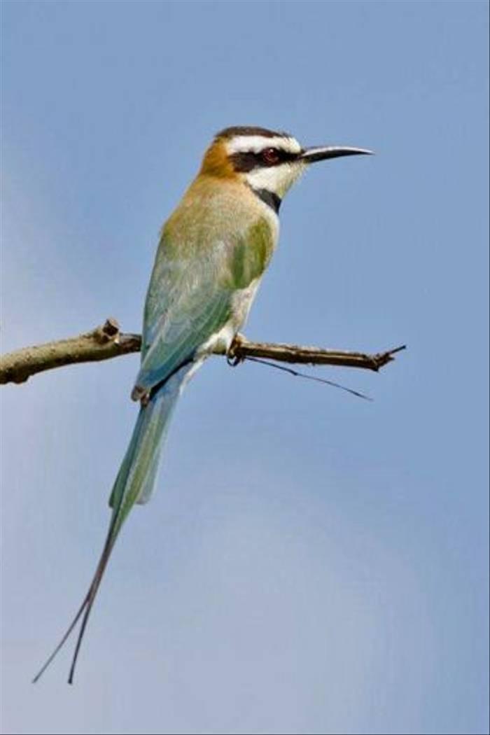 White-throated Bee-eater, Lake Victoria (Ian and Kate Bruce)