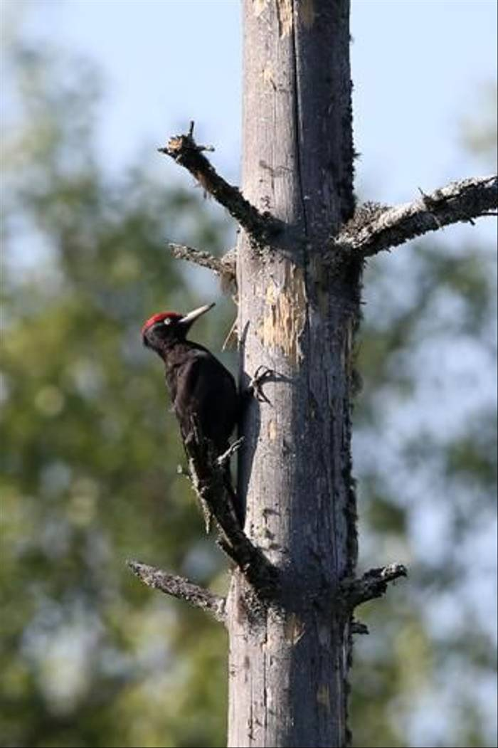Black Woodpecker (Gordon Small)