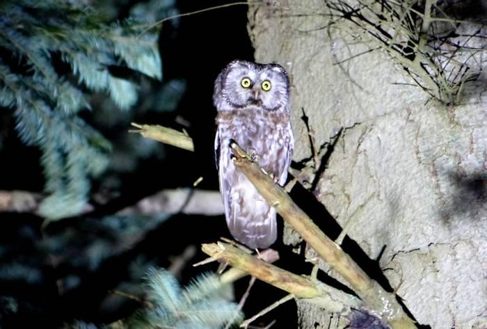 Tengmalm's Owl (Tom Mabbett