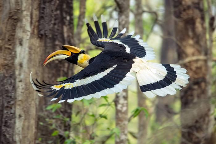 Great Hornbill, Chitwan National Park, Nepal shutterstock_1391747843.jpg