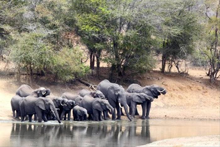 African Elephants (Leon Marais)