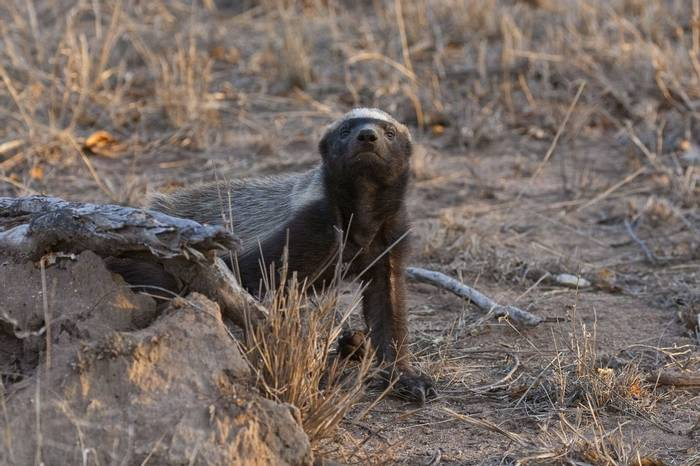 Honey Badger (Leon Marais)