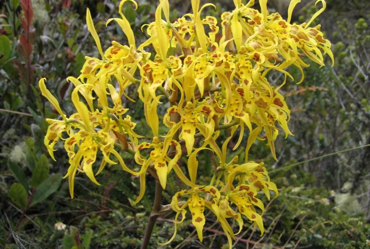 Odontoglossum orchid (Jack Lamb)