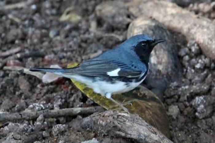 Black-throated Blue Warbler (Steve Wakeham)