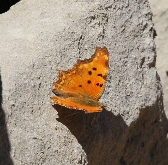 Southern Comma (Andy Harding)