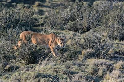 Puma, Torres Del Paine by Helen Pinchin