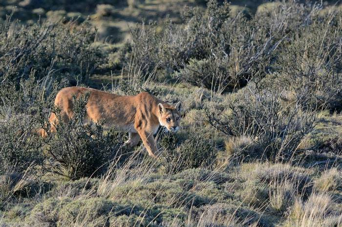 Puma, Torres Del Paine by Helen Pinchin