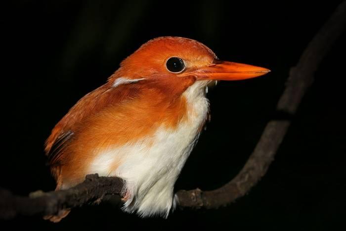 Madagascar Pygmy Kingfisher shutterstock_132995423.jpg